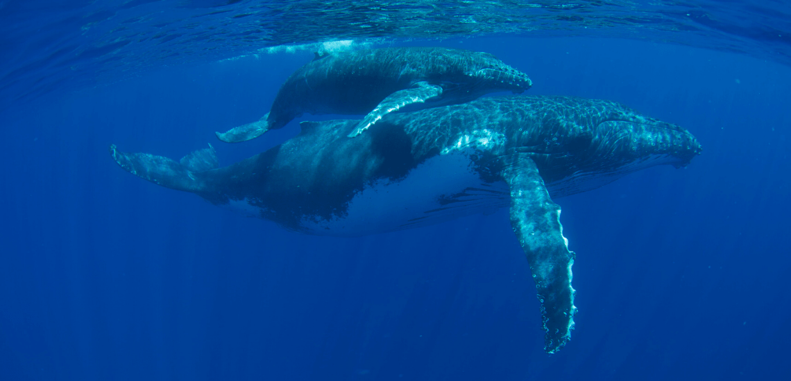 https://tahititourisme.be/wp-content/uploads/2018/03/mooreaactivitiescenterwhaleswatching_1140x550-min.png