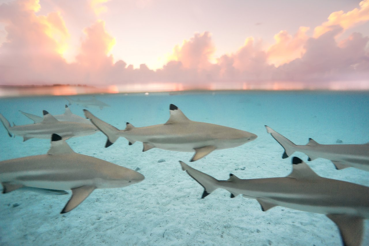 https://tahititourisme.be/wp-content/uploads/2020/06/blacktip-reef-shark-sunset.jpg