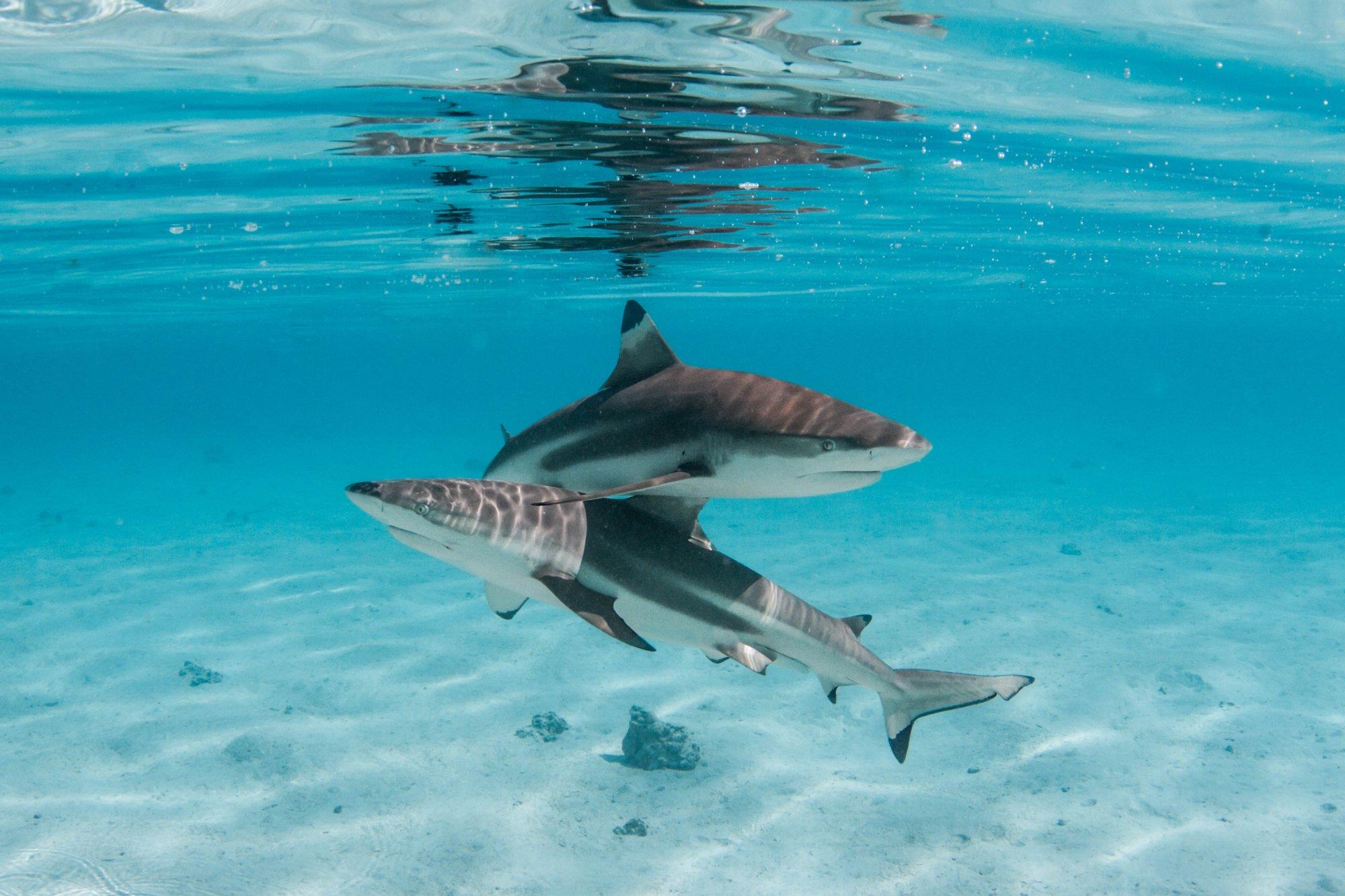 https://tahititourisme.be/wp-content/uploads/2020/06/deux-magnifiques-requins.jpg